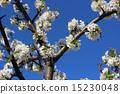 blossom cherry 15230048