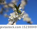 blossom cherry 15230049