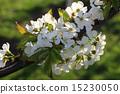 blossom cherry 15230050
