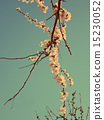 blooming apricot 15230052