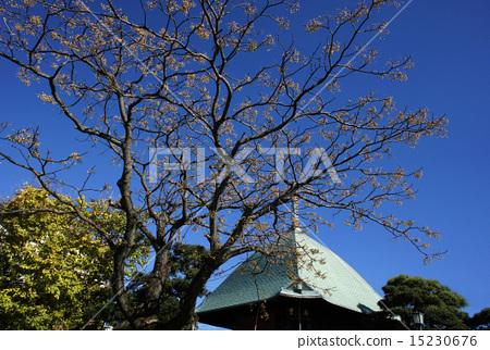 Stock Photo: honkakuji, white cedar, winter sun