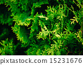 Cypress tree 15231676