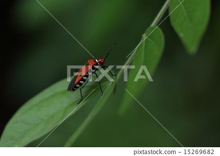 生物昆蟲犀牛甲蟲,一個乾淨的蟲子,但它是一種木槿或秋葵蟲。 15269682