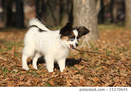 Adorable papillon puppy playing with a stick 15270645