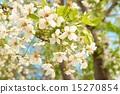White cherry flowers 15270854