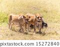 lion wildlife cat 15272840