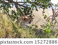 cheetah 15272886