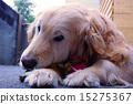 黃金獵犬 金毛獵犬 獵犬 15275367