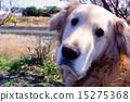 獵犬 黃金獵犬 金毛獵犬 15275368