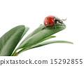 ladybird on green leaf 15292855