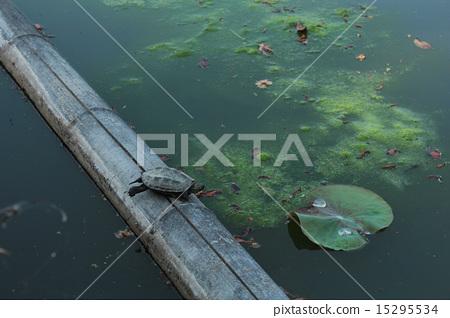 Tortoise of Lotus Pond 15295534