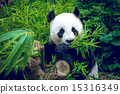 Hungry giant panda 15316349