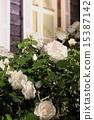 玫瑰和玫瑰 15387142
