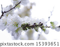 bloom, white, flowers 15393651