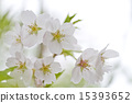 bloom, cherry blossom, cherry tree 15393652