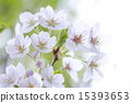 bloom, cherry blossom, cherry tree 15393653
