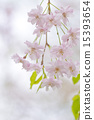 bloom, weeping cherry tree, blossom 15393654