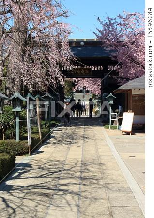 Azran櫻桃樹在Kuranariin 15396084