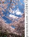 벚꽃이 만개 한 우에노 공원 15398473