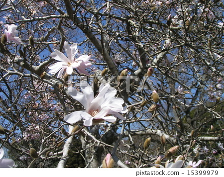 star magnolia, bloom, blossom 15399979
