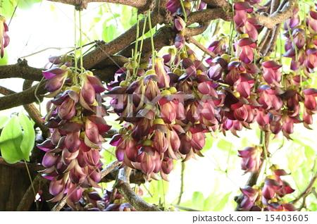 사가라 토비카즈라 꽃 15403605