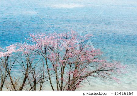 Sakura _ 12 15416164