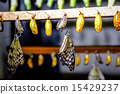 Chrysalis of Idea leuconoe butterfly 15429237