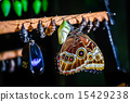 Morpho peleides butterfly and chrysalis 15429238