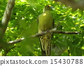 white-bellied green pigeon, pigeon, shore 15430788