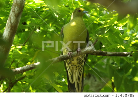 white-bellied green pigeon, pigeon, iriomote-jima 15430788