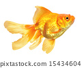 Gold Fish isolated 15434604