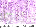 등나무 꽃 15435488