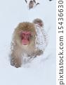 ลิงหิมะ 15436630
