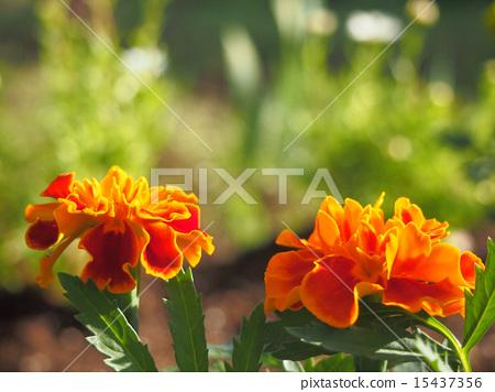 Marigold 15437356