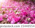 新芽在掉落的勒杜鵑中生長 15440554