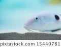 熱帶魚 海洋 海魚 15440781