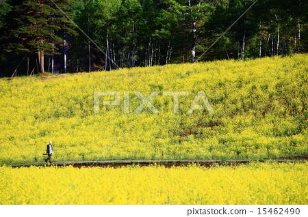 在大町市長野縣的中山高原的油菜田 15462490
