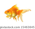 Gold Fish isolated 15463645