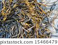 Laminaria (Kelp) Seaweed on sea sand 15466479