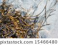 Laminaria (Kelp) Seaweed on sea sand 15466480