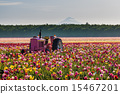 tractor in colorful tulip filed 15467201