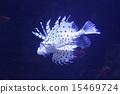 獅子魚 15469724