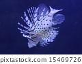 獅子魚 15469726
