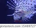 獅子魚 15469727