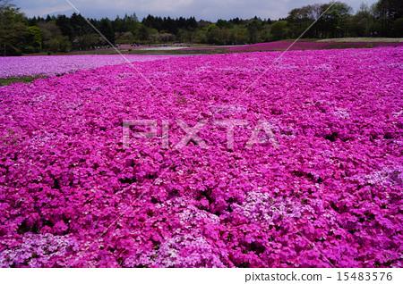 地面粉红色 15483576