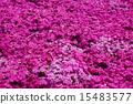 地面粉红色 15483577