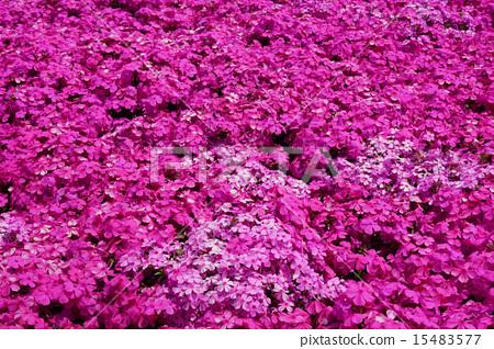 地面粉紅色 15483577