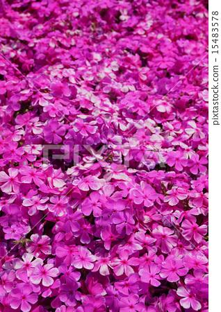 地面粉红色 15483578