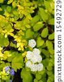 玫瑰花 開花 花卉 15492729