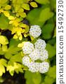 玫瑰花 開花 花卉 15492730
